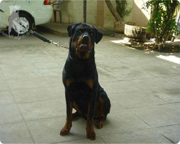 Vom Ragnborg Breeding German Rottweilers For Health And Confirmation